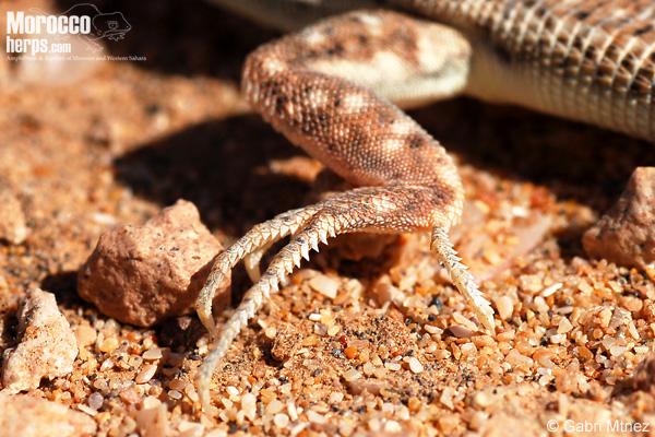 Acanthodactylus aureus
