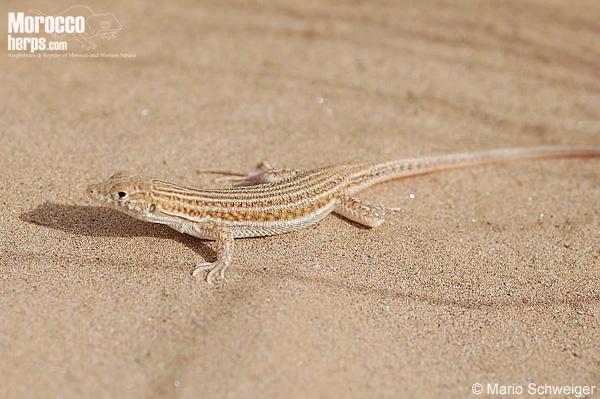 Hembra de Acanthodactylus boskianus