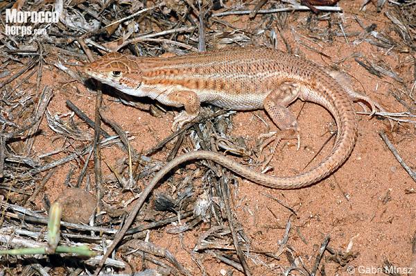 Hembra grávida de Acanthodactylus boskianus