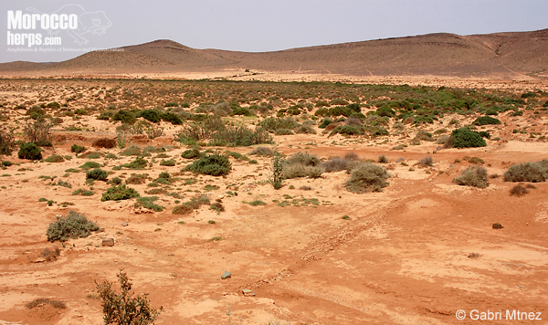 Habitat de Acanthodactylus boskianus