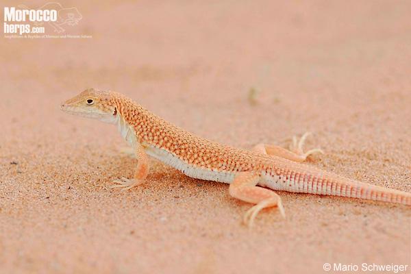 Acanthodactylus longipes