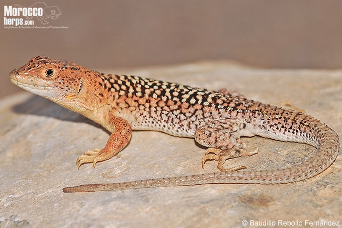 A new lizard endemic to Morocco