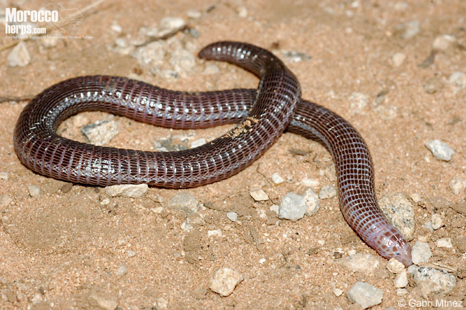 Blanus tingitanus