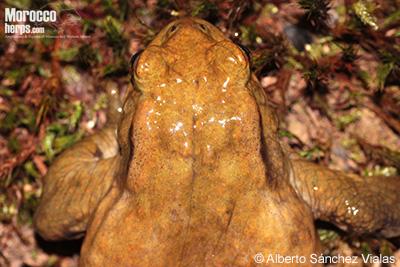 Bufo spinosus