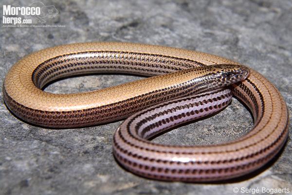 Ophiomorus punctatissimus