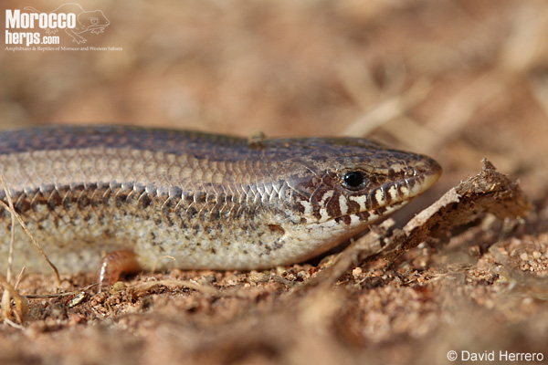 Chalcides mionecton mionecton
