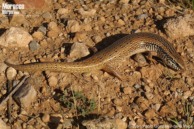 Chalcides ocellatus