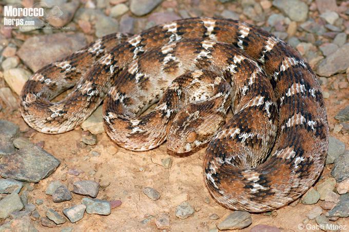 Echis leucogaster