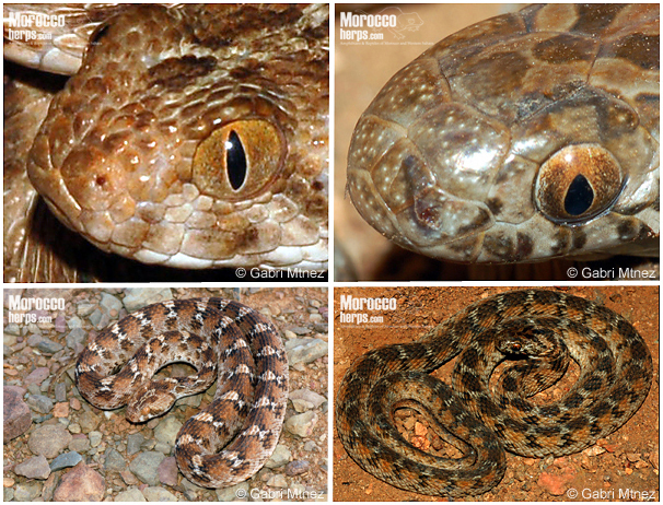 Comparacin de caractersticas de Dasypeltis sahelensis y Echis leucogaster