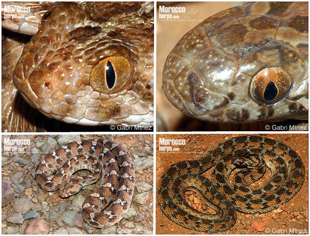 Comparación de características de Dasypeltis sahelensis y Echis leucogaster