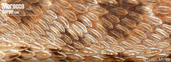 Escamas laterales con quilla aserrada de Echis leucogaster