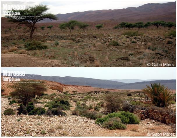 Habitat de Echis leucogaster