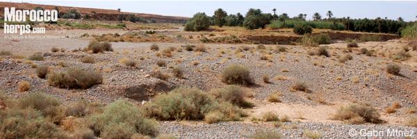 Habitat of Myriopholis algeriensis