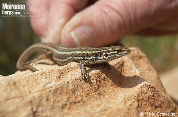 Psammodromus microdactylus