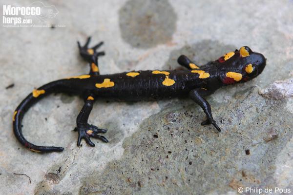 Salamandra algira ssp.