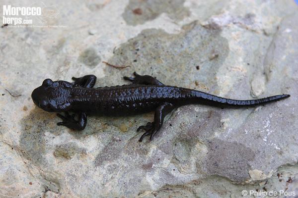 Individuo melánico de Salamandra algira tingitana
