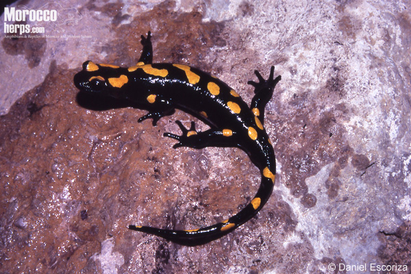 Salamandra algira spelaea.