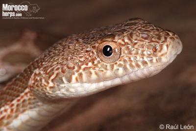 Spalerosophis dolichospilus. Vista lateral de la cabezal. Foto: © Raúl León.
