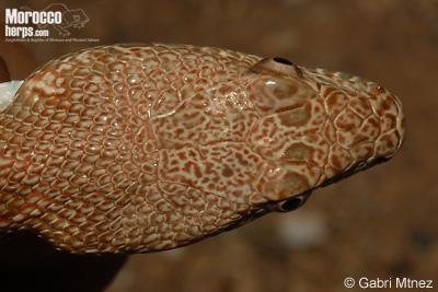 Spalerosophis dolichospilus. Vista dorsal de la cabeza.