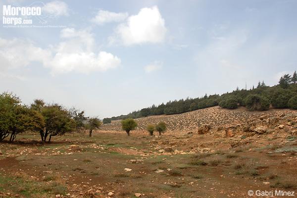 Habitat de Timon tangitanus