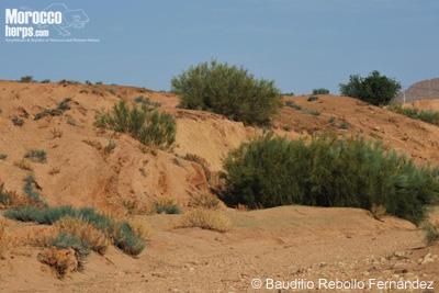 Hábitat de Trogonophis wiegmanni wiegmanni