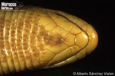 Trogonophis wiegmanni