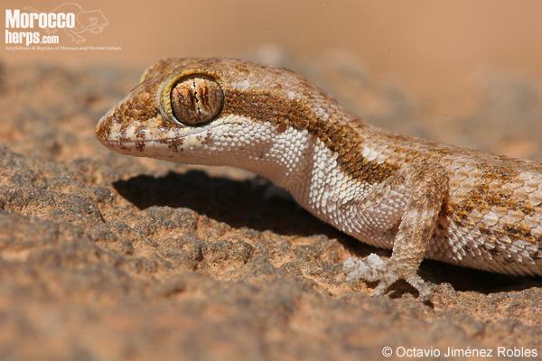 Tropiocolotes_algericus
