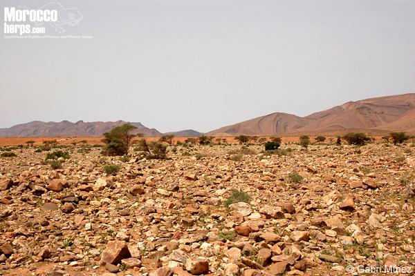 Hábitat de Tropiocolotes_algericus