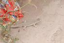 <em>Acanthodactylus boskianus</em>. Macho adulto.<br />Localidad: Ouarzazate<br />Foto: © Mario Schweiger