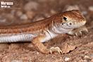 <em>Acanthodactylus boskianus</em><br />Localidad: Tan Tan<br />Foto: © Raúl León