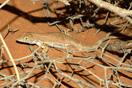 <em>Acanthodactylus boskianus</em>. Ejemplar con dos colas (cola bífida).<br />Localidad: Guelmin<br />Foto: © Gabri Mtnez