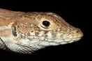<em>Acanthodactylus boskianus</em>. Detalle de la cabeza. <br />Localidad: Guelmin<br />Foto: © Gabri Mtnez