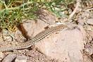 <em>Acanthodactylus boskianus</em><br />Localidad: Ouarzazate<br />Foto: © Mario Schweiger