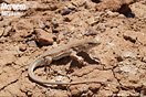 <em>Acanthodactylus boskianus</em><br />Localidad: Skoura<br />Foto: © Pierre-Yves Vaucher