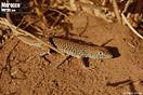 <em>Acanthodactylus dumerilii</em><br />Localidad: Touroug<br />Foto: © Gabri Mtnez