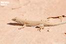 <em>Acanthodactylus dumerilii</em><br />Macho subadulto<br />Localidad: Oued-Ziz<br />Foto: © Mario Schweiger