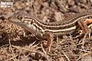 <em>Acanthodactylus erythrurus</em><br />Localidad: Jebel Sirwa<br />Foto: © Raúl León