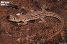 <em>Acanthodactylus erythrurus</em>