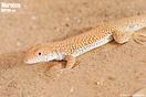 Macho de <em>Acanthodactylus longipes</em><br />Localidad: Merzouga<br />Foto: © Mario Schweiger