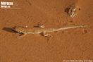 <em>Acanthodactylus pardalis