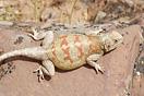 <em>Agama impalearis</em>. Hembra grávida. <br />Localidad: Aoulouz<br />Foto: © Mario Schweiger