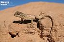 <em>Agama impalearis</em><br />Localidad: Oued Siyad<br />Foto: © Raúl León