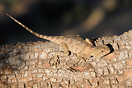 <em>Agama impalearis</em>. Juvenil. <br />Localidad: Argana<br />Foto: © J. Gállego