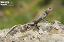 <em>Agama impalearis</em>, juvenil.<br />Localidad: Tetuan<br />Foto: © Enrique Ruiz Ara