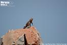 <em>Agama impalearis</em>, macho.<br />Localidad: Tafraout<br />Foto: © Juan José Ramos Melo