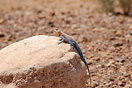 <em>Agama impalearis</em>. Macho. <br />Localidad: Ouarzazate<br />Foto: © Mario Schweiger