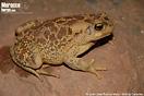<em>Amietophrynus mauritanicus</em><br />Localidad: Skoura<br />Foto: © Juan José Ramos Melo