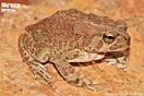 <em>Amietophrynus mauritanicus</em><br />Localidad: Sidi Ifni<br />Foto: © Baudilio Rebollo Fernández