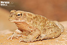 <em>Amietophrynus mauritanicus</em><br />Localidad: Agadir<br />Foto: © Baudilio Rebollo Fernández