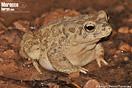 <em>Amietophrynus mauritanicus</em><br />Localidad: Amskroud<br />Foto: © Baudilio Rebollo Fernández